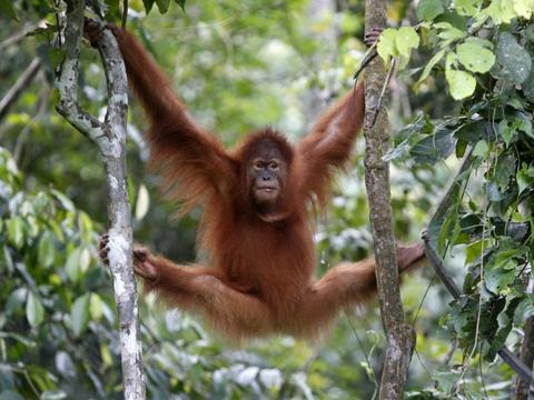 """印尼2只苏门达腊猩猩""""毕业""""了,学会求生技能后重返森林"""