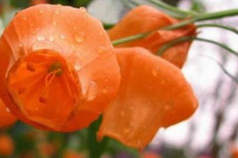 盆栽宫灯百合的养护方法和注意事项