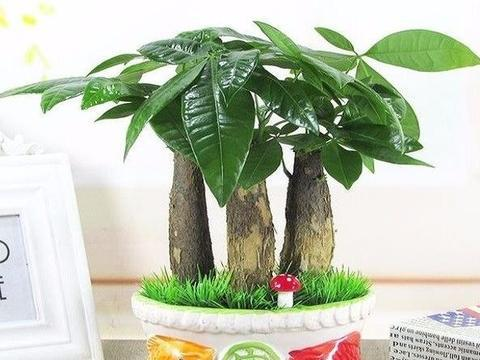 家里多放点君子兰,发财树,红豆杉一些植物!让生活更有诗意!