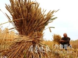 又一个国家区域性良种繁育基地,兖州小麦上榜