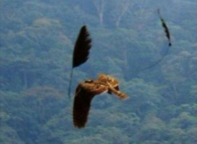 鸟都是两只翅膀,但这种鸟却叫四翼鸟,翅膀之外还有对更大的羽翅
