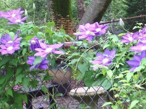 养铁线莲掌握几个关键技巧,让它年年开花,还能养阳台上