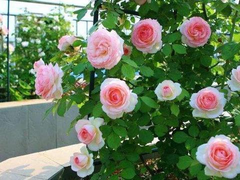 """这""""4种花"""",耐高温,开花多,种在屋顶、露台,开成漂亮小花园"""