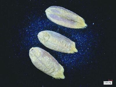 世界首次!我科学家成功破译古小麦全基因组
