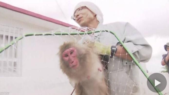 """日本14只猴子拿钥匙""""自行""""开门出逃 百余人抓逃"""