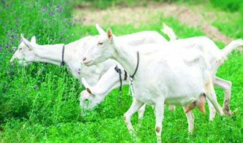 婴儿奶粉用哪种更健康?英国发现山羊奶的低聚糖改善婴儿肠道菌群