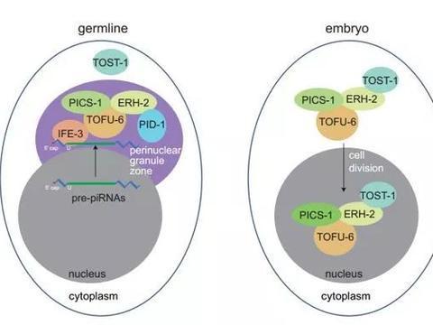 研究人员发现对piRNA生成以及染色体分离起重要作用的复合物
