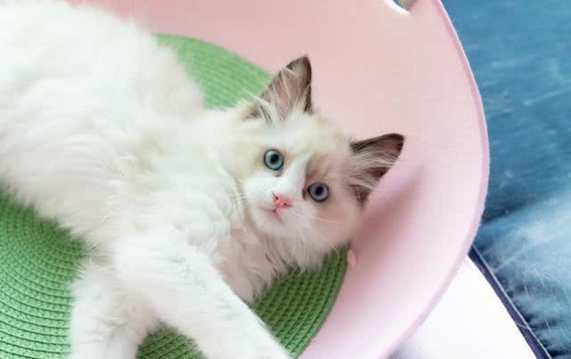 孕妇养猫注意事项_布偶猫怀孕,父亲是金吉拉,主人崩溃,养猫一定要绝育