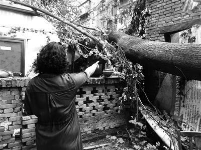 西安铁路局家属院20多米高的树倒下砸中房 过去多日仍未处理