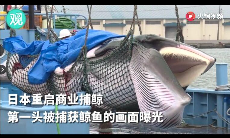 日本重启商业捕鲸后首批鱼肉上市 日游客:很好吃