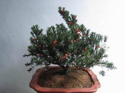你的红豆杉有救了,叶子发黄枝干枯,只需要这么养护就行!