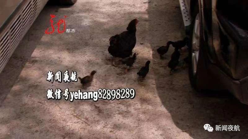 """现实版""""半夜鸡叫""""!20多只鸡哈尔滨市区客车里安家,早晨三四点钟开始下蛋打鸣,附近居民直呼""""受不了""""!一只鸡要罚多少钱?"""