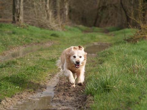 狗狗患膀胱炎的症状,易患病的犬种和狗龄是什么?