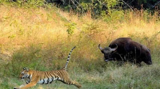 敢和白肢野牛抢水源?牛脾气上来,连百兽之王老虎都要丢脸!
