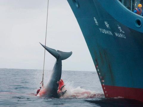 仅占国内肉类消费0.1%,日本为何坚持恢复商业捕鲸?