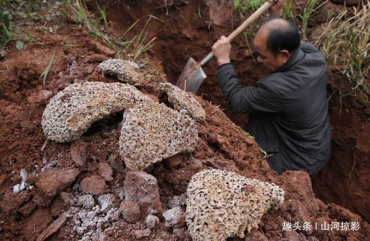 水库堤坝挖出10米白蚁巢穴,擒获蚁王蚁后43对,蚁龄最长达30余年