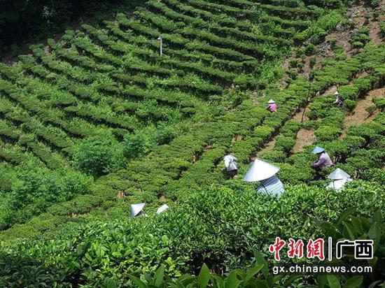 """横县那阳镇""""抱团式""""发展茶产业促脱贫"""