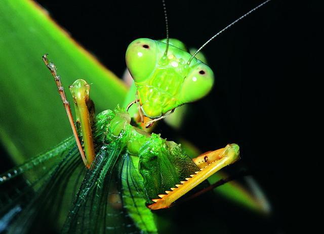 过把瘾就死?雄螳螂交配后会被雌螳螂吃掉?它们真有牺牲精神吗?