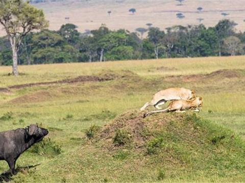 狮子交配的过程中,反遭野牛的羡慕,野牛直接发起进攻