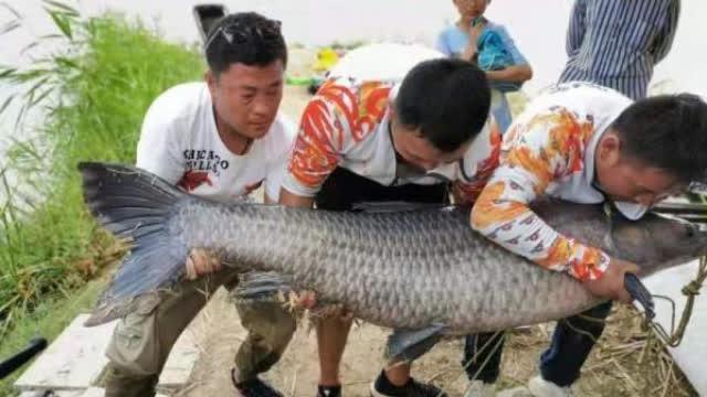 视频:渔友钓150斤大鱼放生:在娱不在鱼