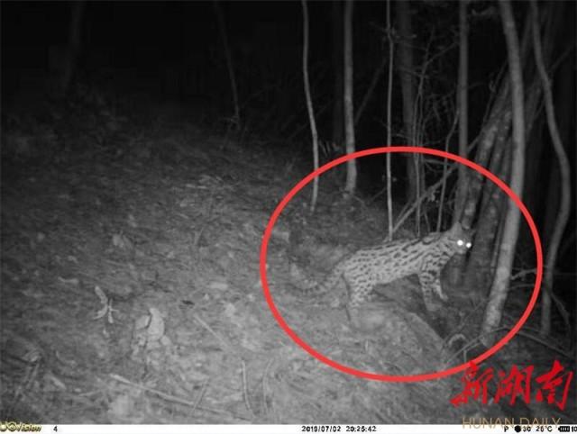 湖南白云山国家级自然保护区:红外相机捕获四只豹猫同框影像