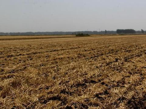 心疼!5亩小麦即将成熟,农民大姐却全部粉碎!为何?