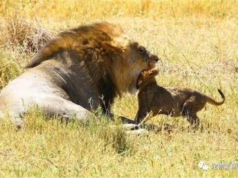 """狮王遭遇""""强劲对手""""无力还手,还被对方一直攻击,最后倒下了"""