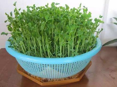 吃豆芽不如吃豌豆芽,香脆更助消化,3种做法,爽口又下饭