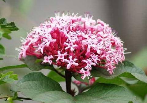 此花华贵不输牡丹,牙痛、痔疮、湿疹的克星药,花开美似绣球