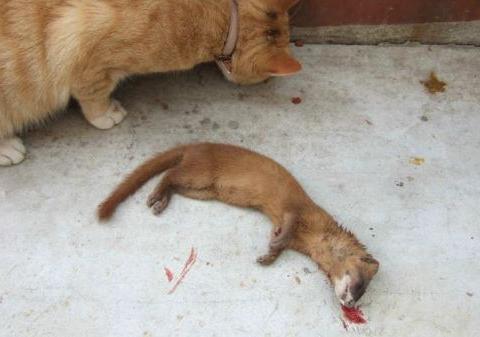 老人说黄鼠狼不能杀,真的是迷信吗?科学证明我们都想错了