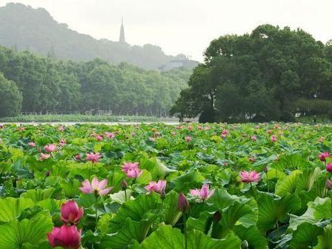 浙江杭州:长达30天的梅雨季结束,西湖景区荷花进入盛放期!
