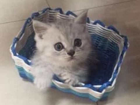 小奶猫的胆子太小了,不愿意和主人玩,唯独对鞋子情有独钟……