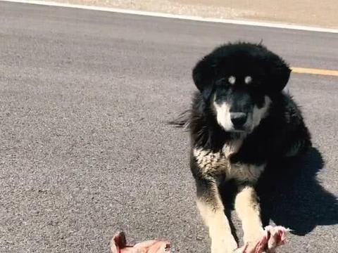 藏獒跟主人徒步游西藏,只吃生肉,主人:带狗是为安全
