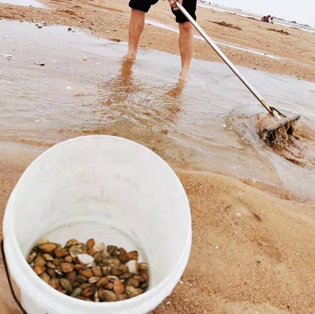 青岛人挖蛤蜊还可以这样操作!耙子、盛馒头的漏盘都用上了…