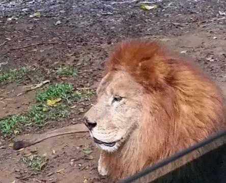 动物园嫌狮王太孤单,给它找了4条狗作伴,第二天再瞧令人惊讶