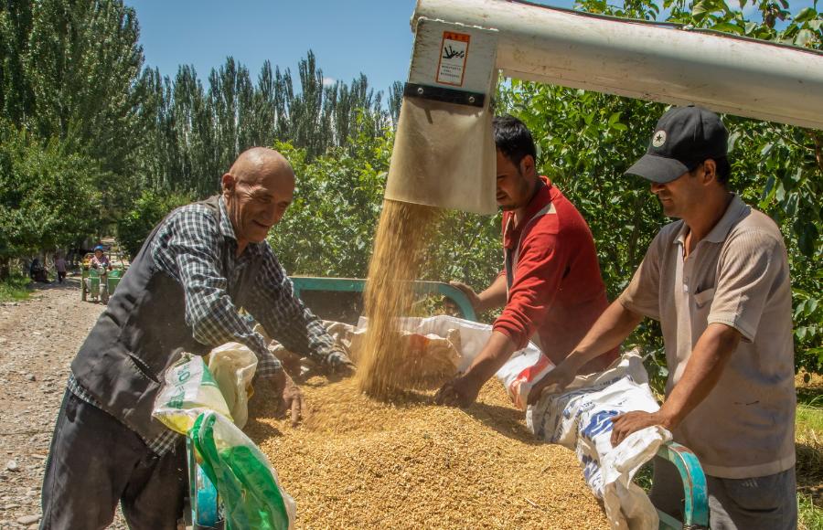 乌什县:套种小麦喜获丰收