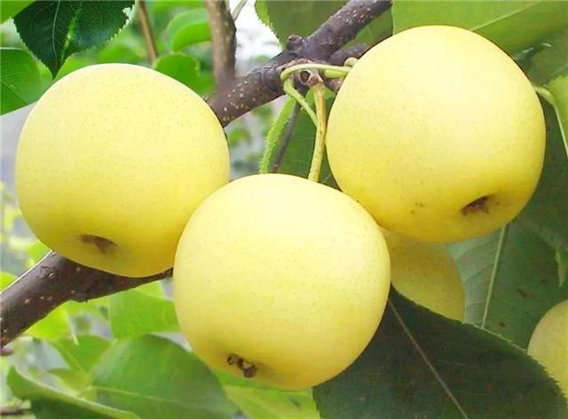 又是一年吃梨季,浏阳这个山庄150余亩黄金梨等你来摘~