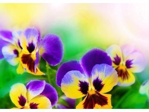 三色堇的花语,见到三色堇的人都会幸福的美丽传说