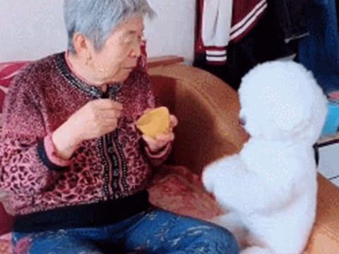 """把比熊寄养在奶奶家,回到家后一看,自己的""""宝座""""都没了?"""