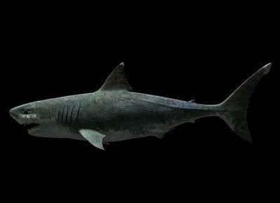 世界上最大的巨齿鲨到底有多大?研究发现其战斗力远超人类想象