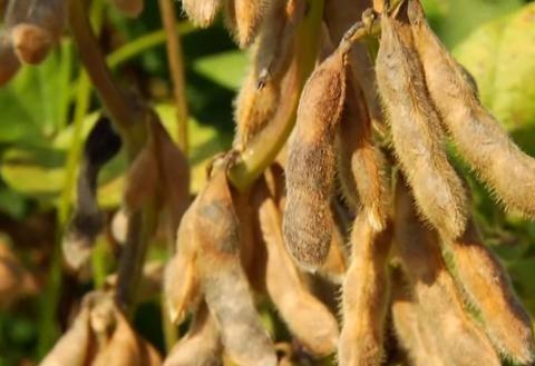 雪上加霜!928个农场破产后,刚刚美国近10000吨大豆订单被取消