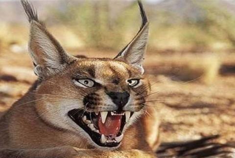 """世界上最凶猛的猫:耳朵自带""""天线"""",连狼都敢抓!"""