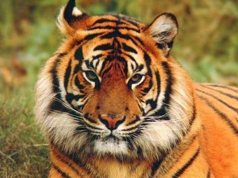 老虎舌头上有倒刺,没想到虎鞭上的倒刺更可怕,不愧是百兽之王