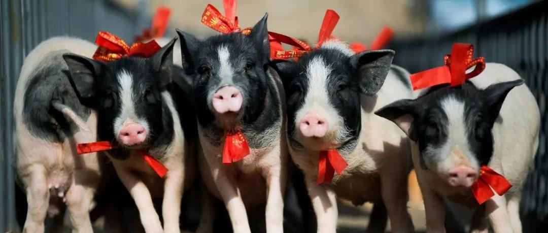 养猪第一股雏鹰农牧又爆雷 市值28亿负债182亿