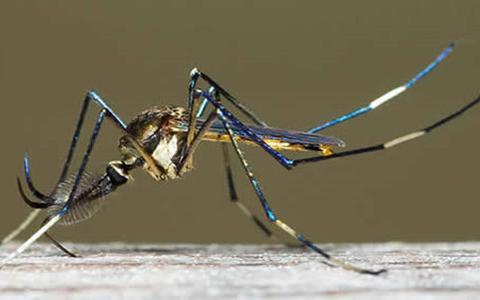 吸血扰人,传播疟疾,散播病毒,人类为何还不灭绝蚊子?