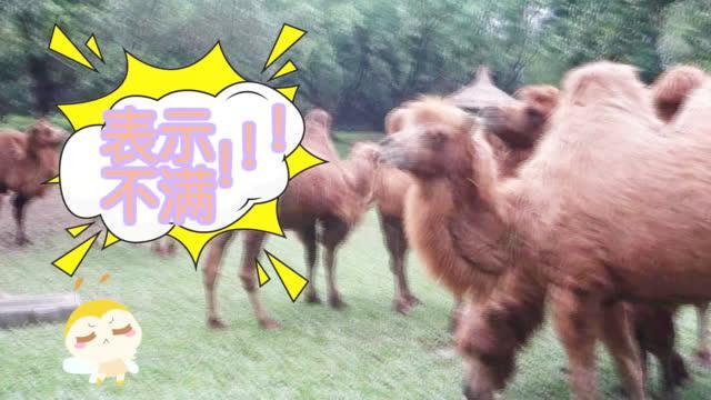 一只饥饿的骆驼遇到辣椒拌饭,会产生怎样的化学反应呢