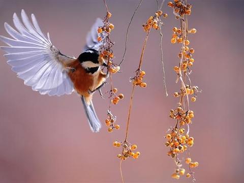 生物学家通过分析野生鸣禽了解多巴胺在人类应激反应中的作用