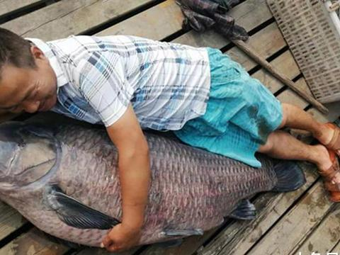 金牛湖捞出巨无霸青鱼,重186斤,长1.65米,有人出价8000元