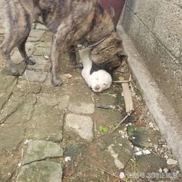 男子捡回来的流浪狗,谁料长大后这么凶残,靠一张毒嘴称霸全村
