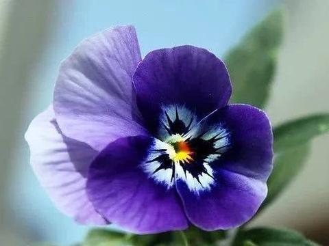 这种看着像鬼脸一样的小花,一年到头都开不完,花朵像人脸